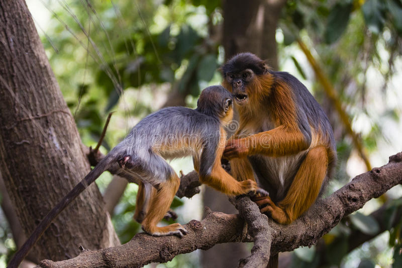 Monkey parent and young stock photos