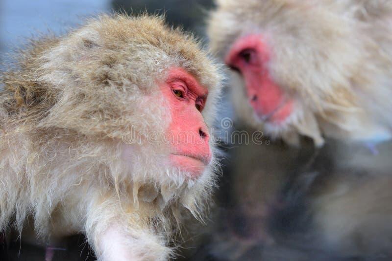 Monkey Park. Macaques at Jigokudani Monkey Park in Nagano, Japan stock images