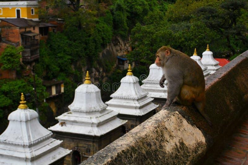 Monkey at Pashupatinath temple, Khatmandu. Monkey with stupas in Pashupatinath Hindu temple and cremation ghats, Khatmandu royalty free stock photo