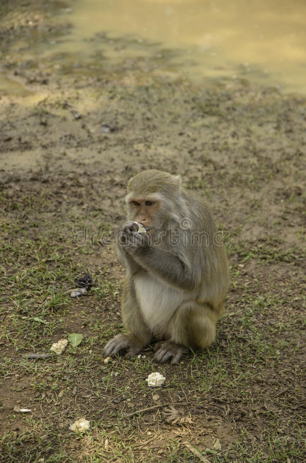 Monkey pets. In temple thailand stock photos