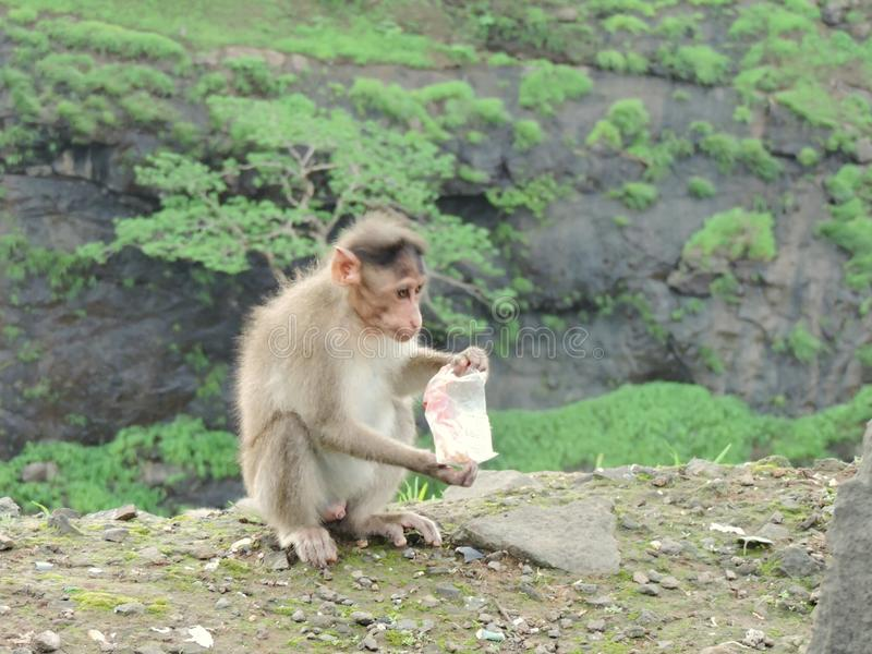 Monkey playing with carrybag on mountain trying to search food stock photos