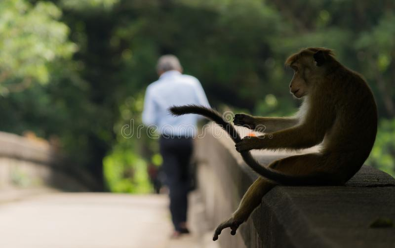 A monkey playing with his tail in a public park royalty free stock image