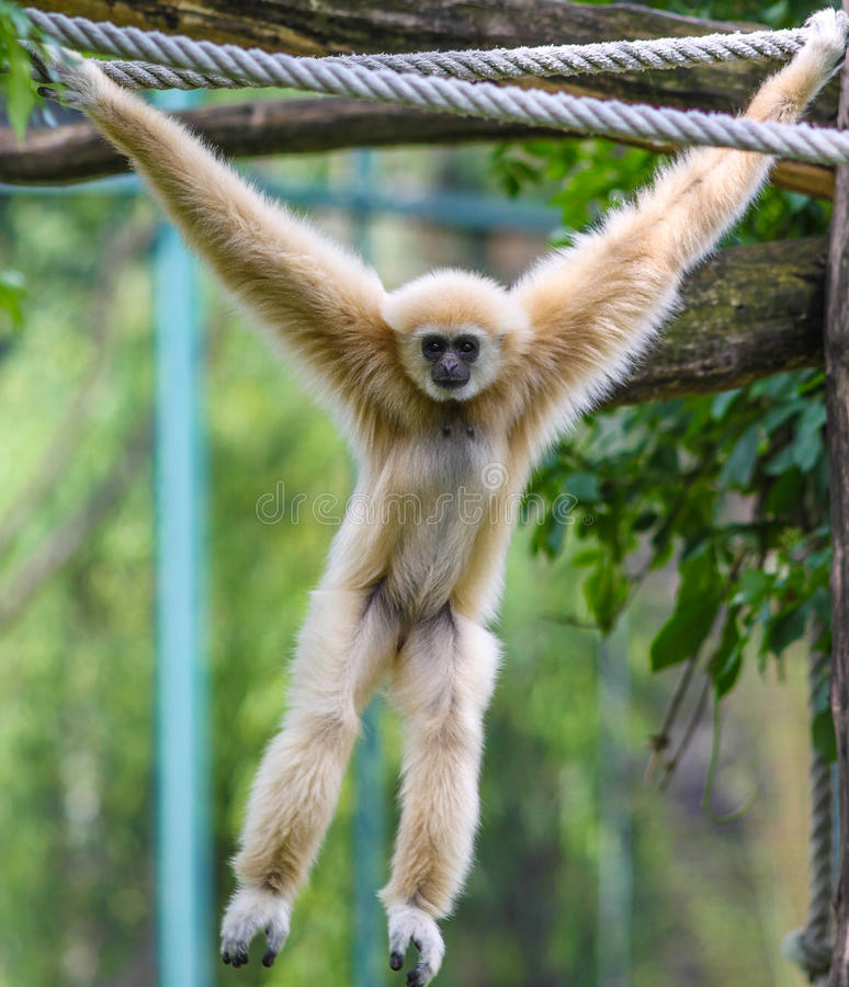 Monkey. Playing in the woods in a zoo stock photo