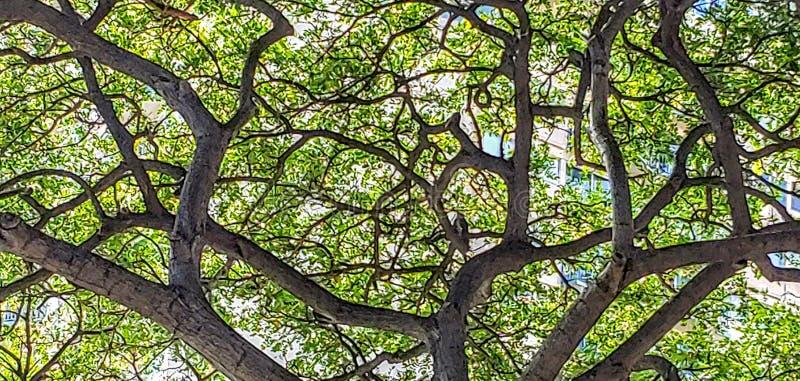 Monkey Pod Tree, Honolulu. Monkey pod tree canopy with bird, huge, shaded, green stock images