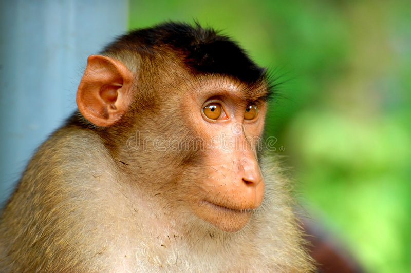 Download Monkey portrait stock photo. Image of exotic, primate, head - 117750
