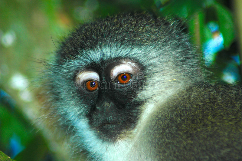 Monkey portrait. Beautiful head portrait of an African Vervet Monkey face or Blouaap (Chlorocebus Aethiops) watching other monkeys in a game reserve in South royalty free stock photos