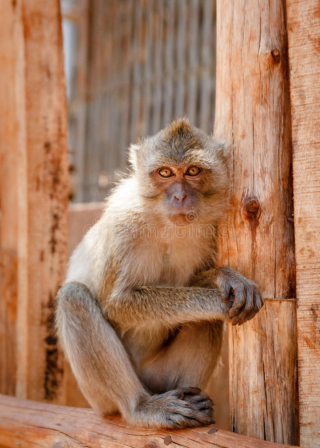 Monkey Portrait. A portrait of macaque looking straight to the camera royalty free stock photos