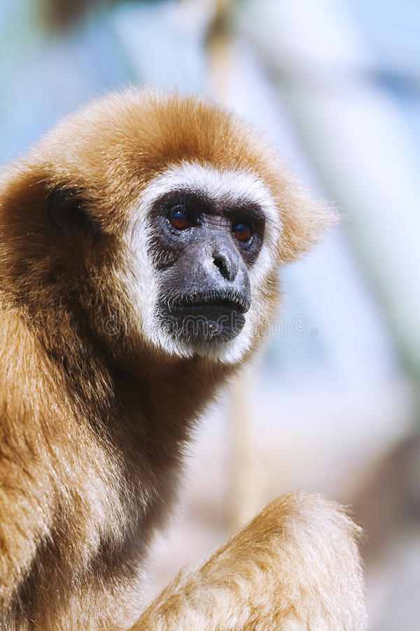 Monkey portrait, Gibbon. Portrait of White-handed gibbon(Hylobates lar stock photo