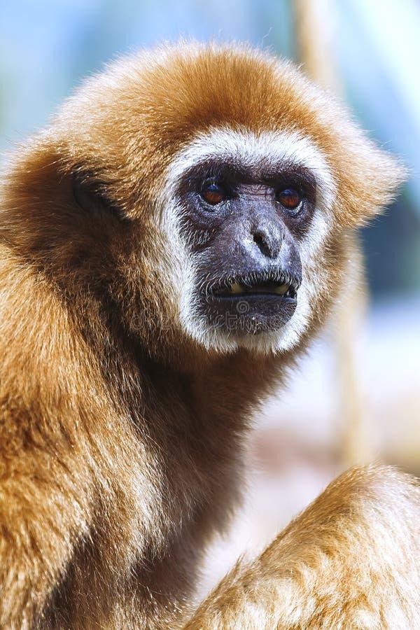 Monkey portrait, Gibbon. Portrait of White-handed gibbon(Hylobates lar stock photography