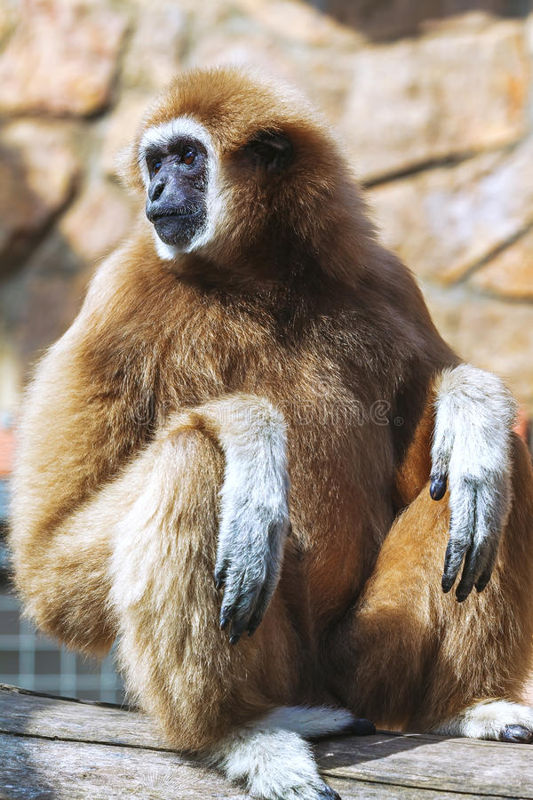 Monkey portrait, Gibbon. Portrait of White-handed gibbon(Hylobates lar royalty free stock image