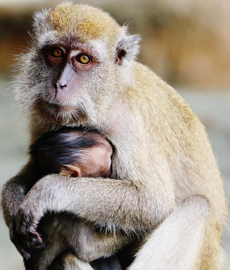 Monkey protecting its child stock photography