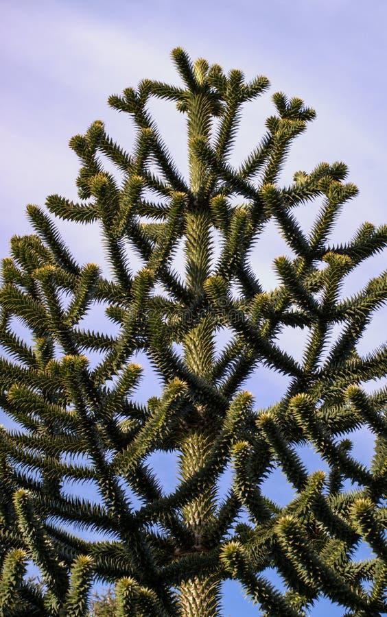 Monkey Puzzle Tree royalty free stock image