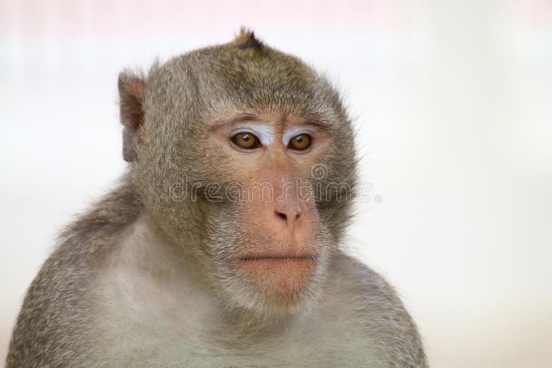 Monkey, retrato da cara do macaco, fim do macaco da selva acima, macaco do macaco fotos de stock