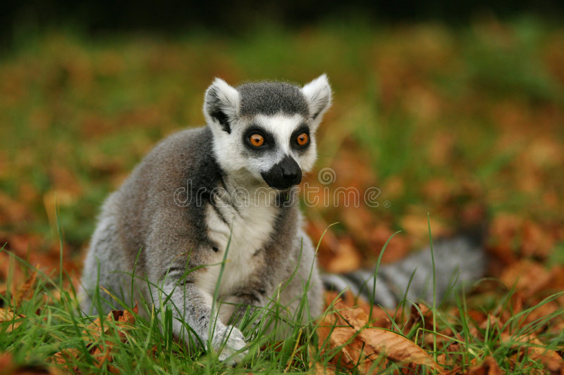Download Monkey Ring-tailed Lemur stock image. Image of african - 1546651