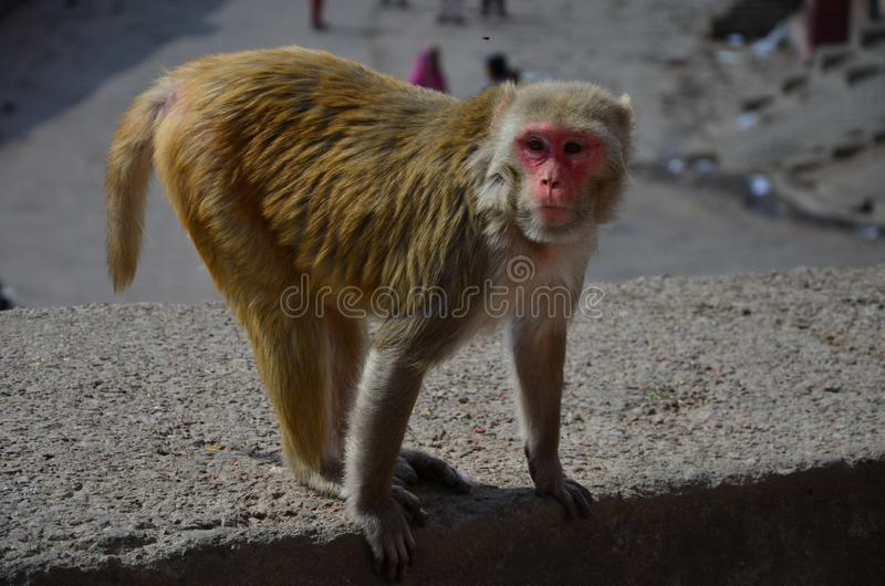 The monkey on the rock royalty free stock photos