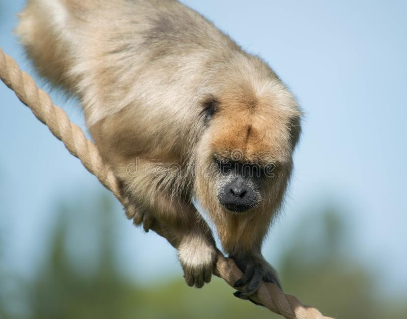 Monkey on rope with blue sky stock photo
