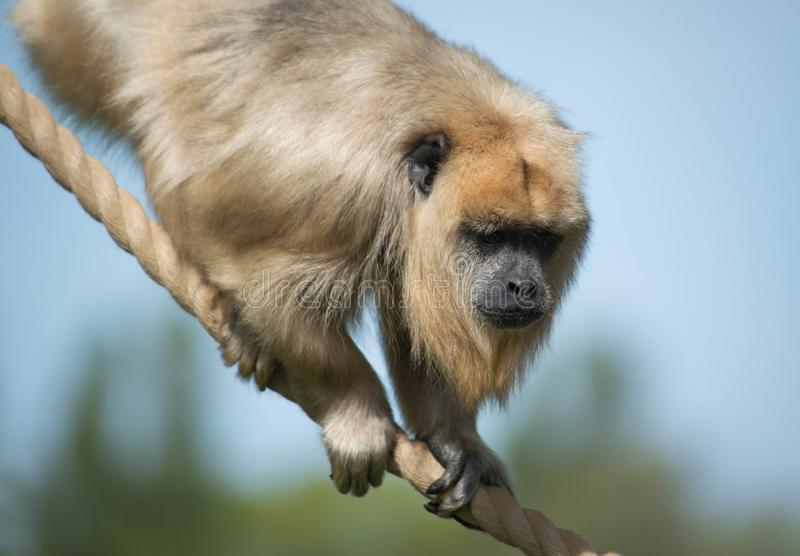 Monkey climbing on rope with blue sky royalty free stock photo