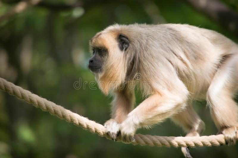 Monkey climbing on rope with green background stock photos
