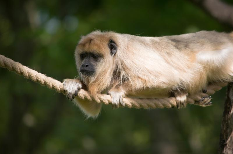 Monkey on rope chilling out stock photo