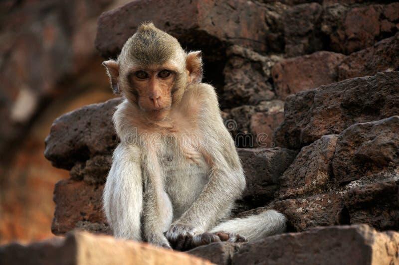 Monkey in ruined castle stock image