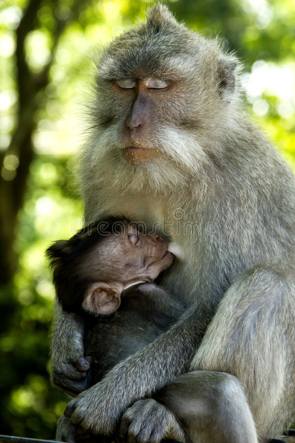 Monkey With It S Child Royalty Free Stock Images