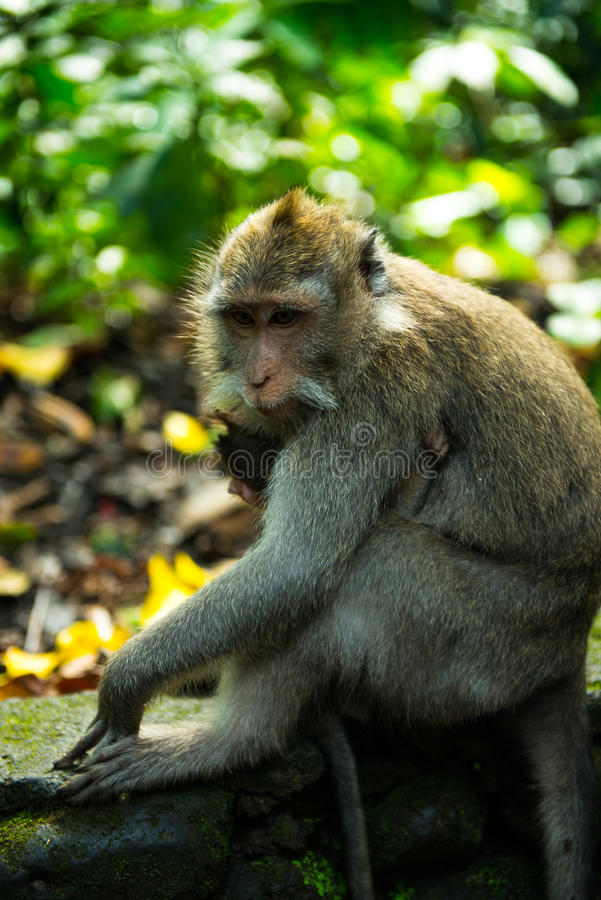 Monkey at Sacred Monkey Forest Sanctuary, Bali, Indonesia stock photos