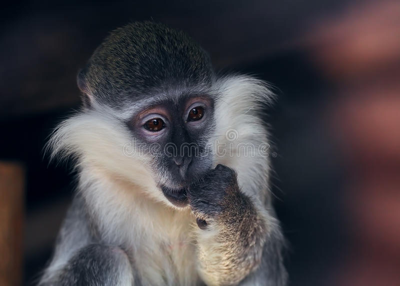 Monkey sad and surprised waiting for miracle royalty free stock image