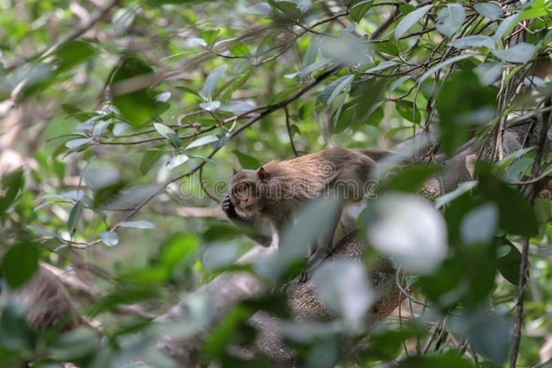The monkey Scratch head on branch tree in nature at thailand stock photography
