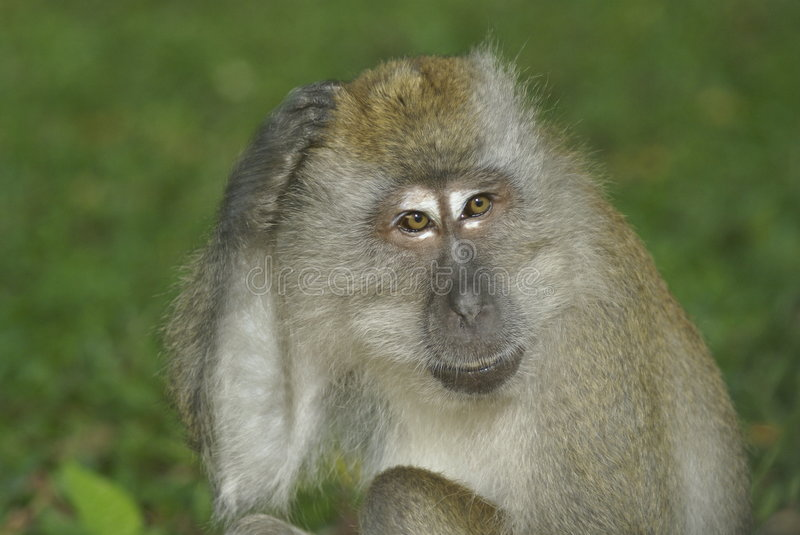Monkey scratching head. Long-tailed macaque scratching his head in Bukit Timah Nature Reserve, Singapore stock photos