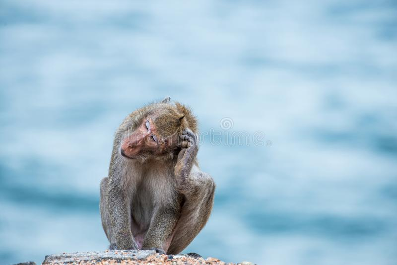Monkey scratching head, sitting on the sand stock photography