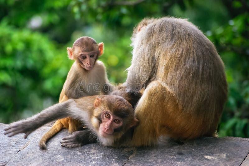 Monkey scratching other monkeys back in a temple in Katmandu Nepal stock photos