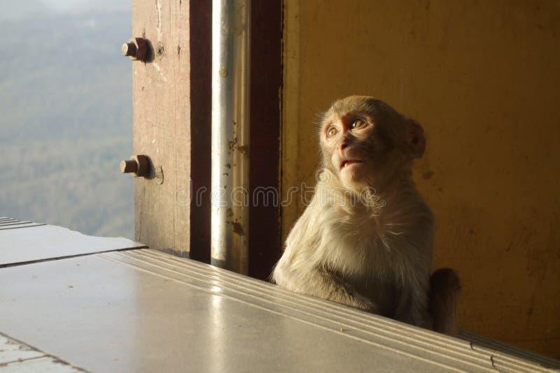 Monkey se reposer au bâti Popa à Mandalay Myanmar images stock
