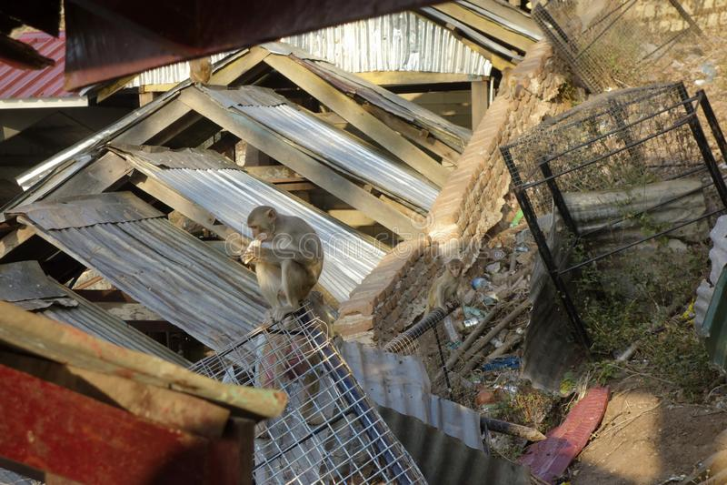 Monkey se reposer au bâti Popa à Mandalay Myanmar photographie stock libre de droits