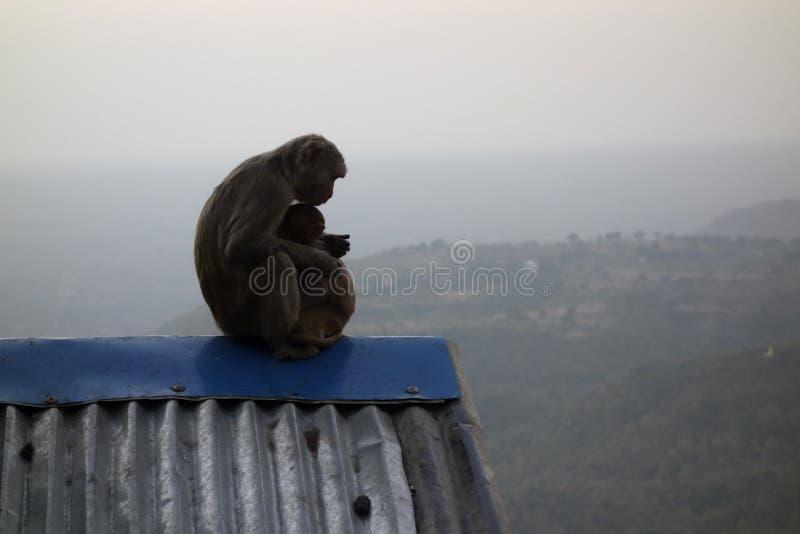 Monkey se reposer au bâti Popa à Mandalay Myanmar images libres de droits