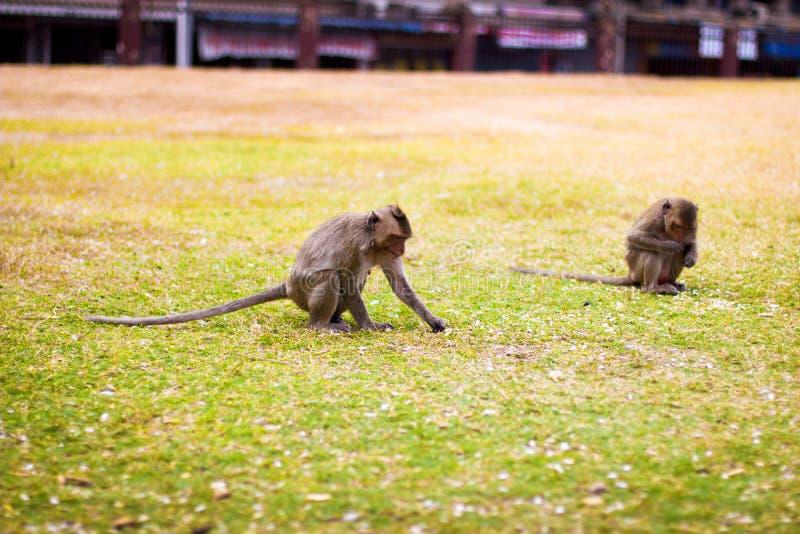 Monkey se reposer au sol, mangeant la mangue images stock