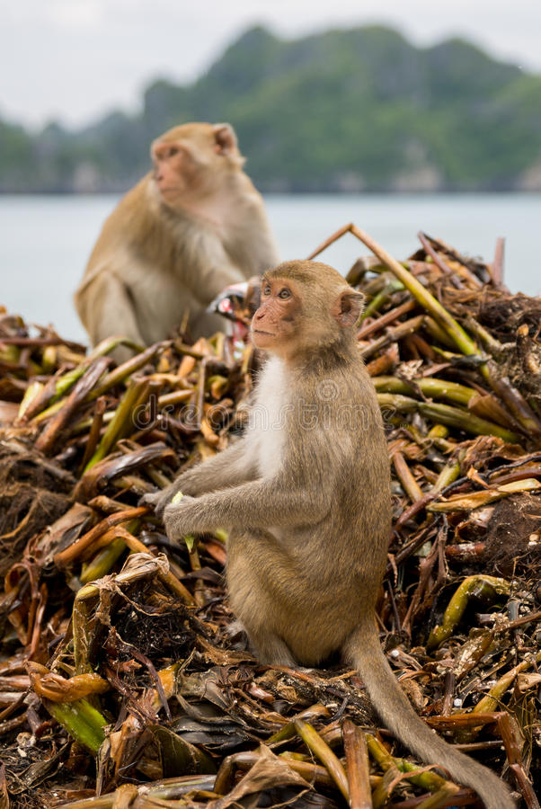 Download Monkey searching for food stock photo. Image of monkey - 26837412