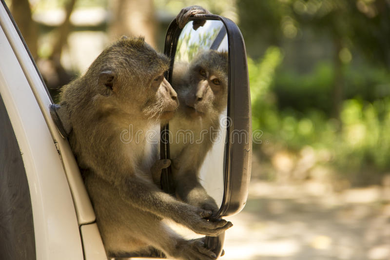 Monkey see's himself in the mirror royalty free stock photo