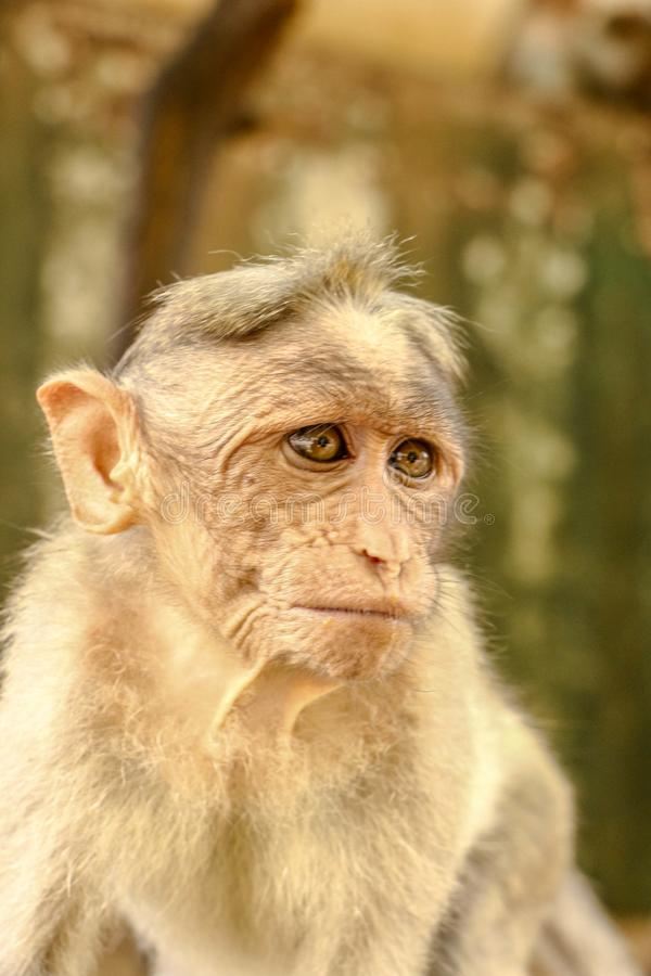 Close up head shot of Indian Bonnet Macaque Monkey. This monkey seems searching something maybe for food. what they actually do was stole food from street food royalty free stock photos