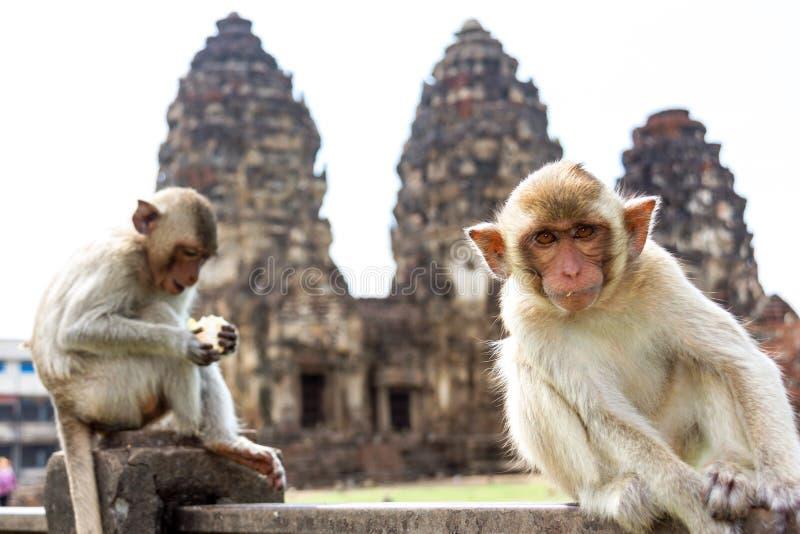 Monkey sentarse delante del templo antiguo de Wat Phra Prang Sam Yot de la arquitectura de la pagoda, Lopburi, Tailandia fotos de archivo