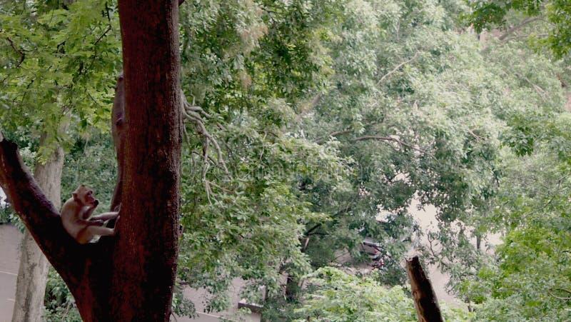 Monkey sentarse en el árbol que muerde su clavo imagenes de archivo