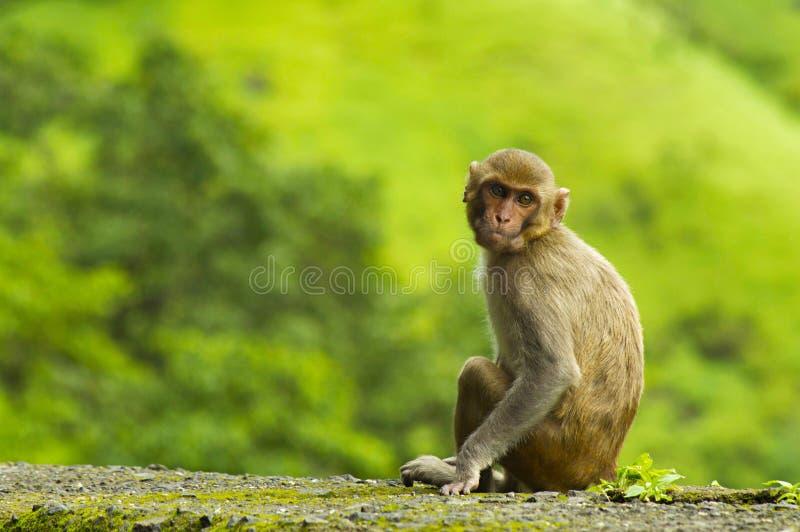 Monkey sentarse en la pared del borde de la carretera en el ghat de Varandha, Pune fotografía de archivo