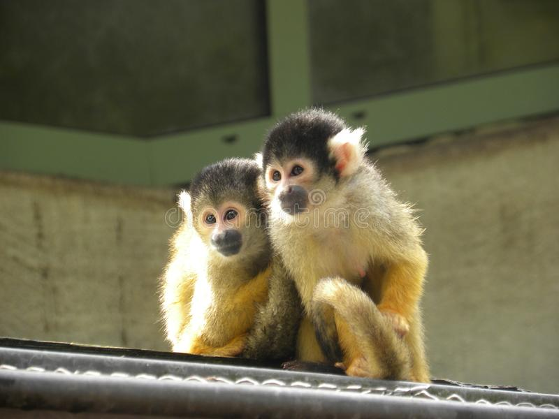 monkey siblings stock image