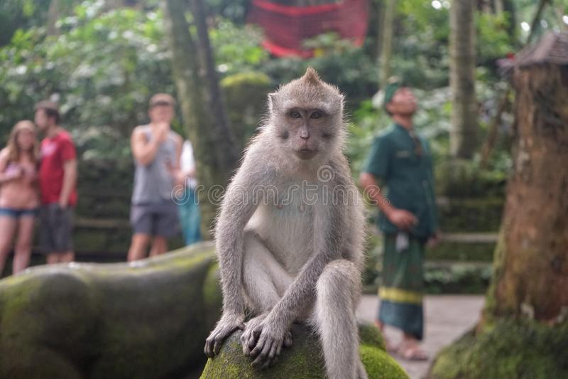 Monkey SID royalty free stock photography