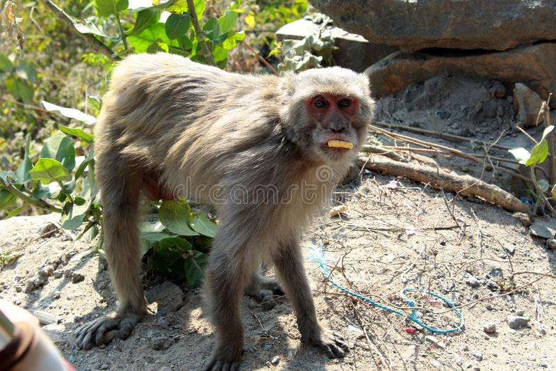 Monkey or simians standing stock images
