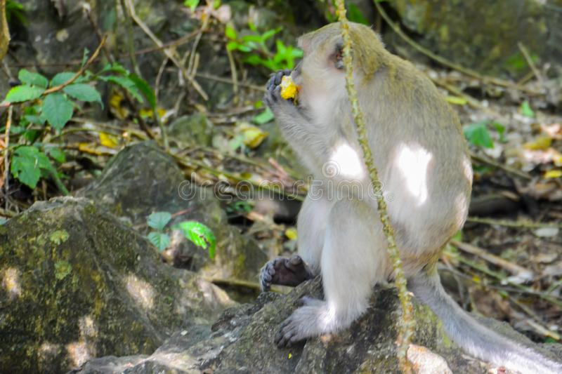 The monkey sit in the forest is happy to eat corn. Khao-sok. royalty free stock photos