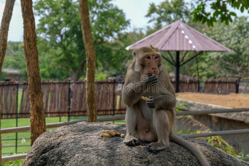 Monkey sit on the rock in zoo and eat pea. Monkey sit on the rock in zoo and enjoy eat pea royalty free stock photos