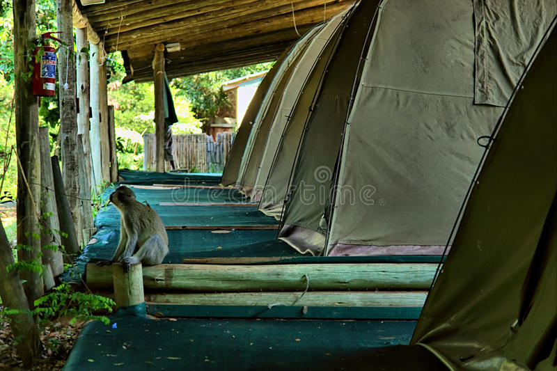Monkey Sits Next To Camping Tent Stock Image