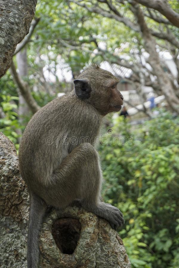 A monkey sitting on the big tree, the background is green leaves do not focus. Side of the macaques stock photos