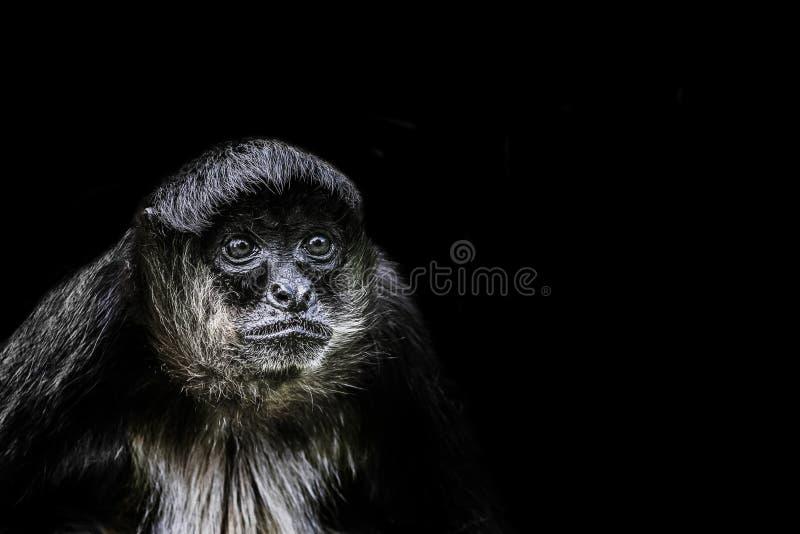 Monkey sitting in the dark corner. With the black background stock photo
