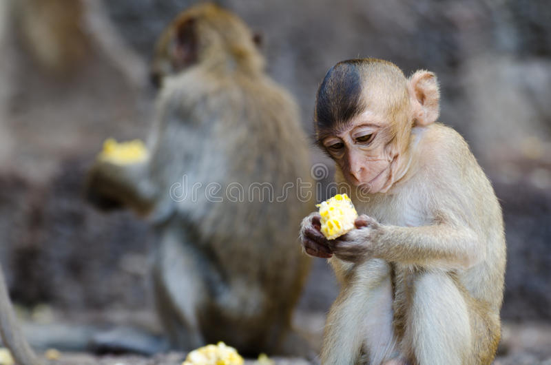 Monkey sitting eating corn. Monkey is looking corn, The food is delicious stock image